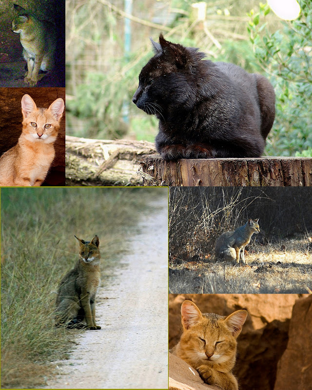 felis chaus Jungle cat