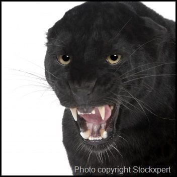 black leopard picture
