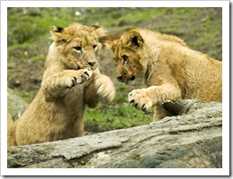 lion cubs at play at Knowsley Safari Park - photo by rofanator