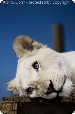 albino-female-lion