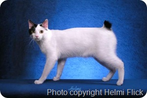 japanese-bobtail-cat-picture