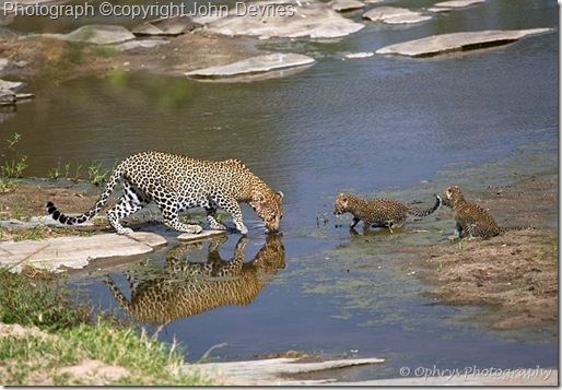 leopard picture of leopard a water with cubs drinking