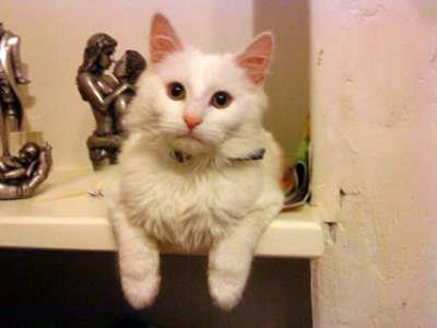 Looks like a white Turkish Angora cat