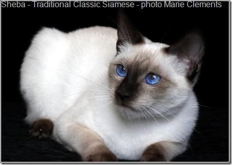 Applehead Siamese cat Sheba