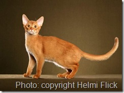 Sorrel coat colour abyssinian cat