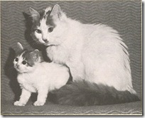 first registered turkish van cat