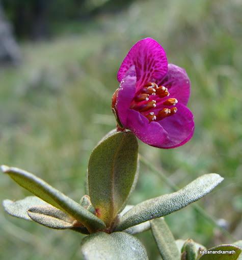 Dwarf Rhododendron flower