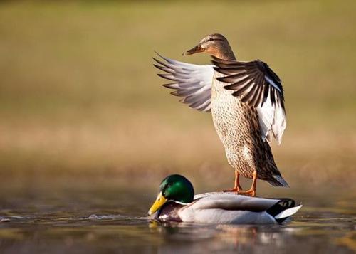 duck on duck