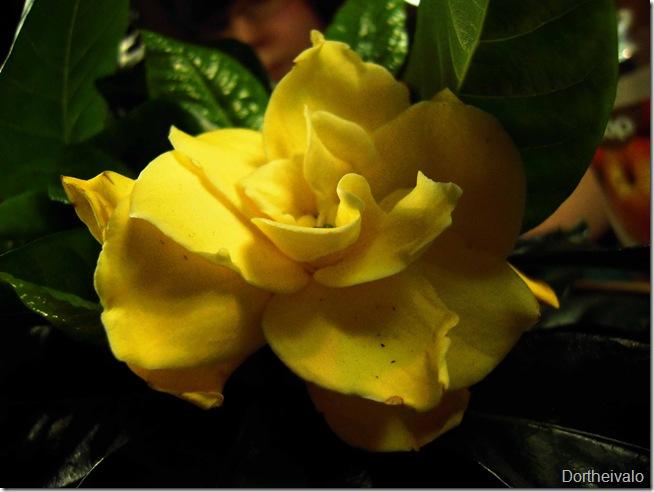 mors gardenia
