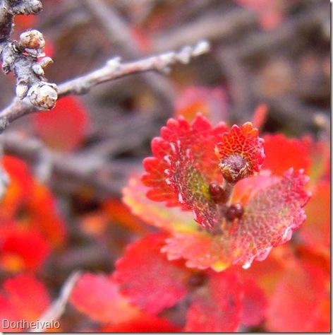 rødeblade