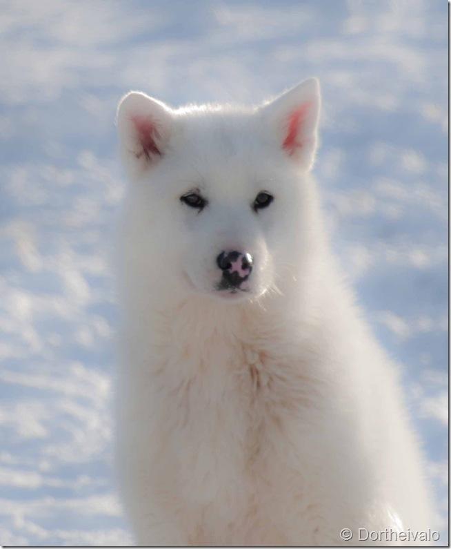 hvidhund