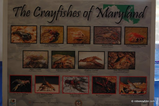 crayfish of maryland