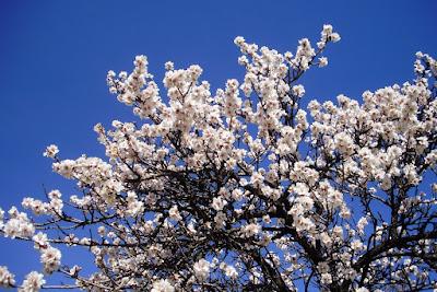 Almendros En Flor En Leganes