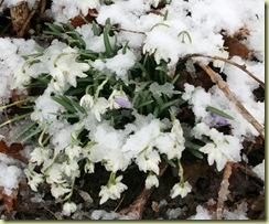 snowdrops_eranthis_snowx1200