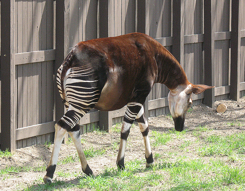 It's a Zebra Horse. Literally.