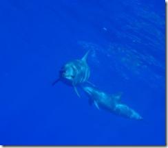 ハワイ島のイルカ