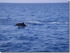 ハワイ島・イルカと泳ぐツアー
