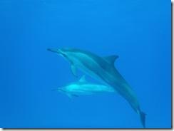 イルカ・ドルフィンスイム・ハワイ島