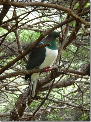 A Keru/Wood Pigeon