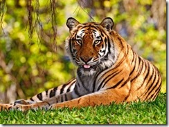 tigre-de-bengala5