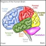 brain1