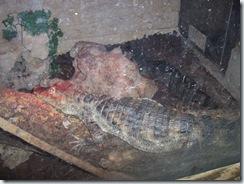 2010.09.04-006 crocodile dans le vivarium