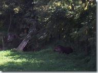 2010.09.04-026 tapir
