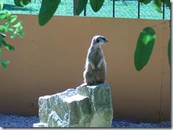 2010.09.04-033 suricate