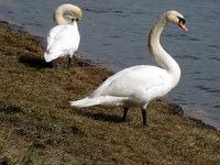 Družabna laboda v parku ob jezeru