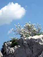Cvetje vrh Sabotina