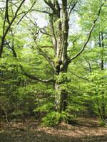 Stara bukev v gozdovih Ragljevke