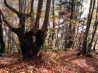 Drevo na sopotju nemarkirane poti z markirano