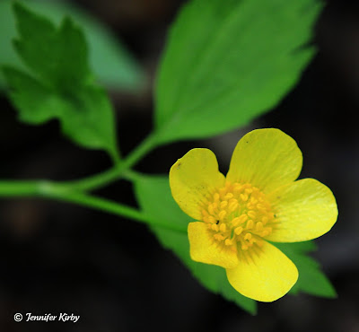 Sagebrush buttercup pictures -  www.bentler.us - Bentler
