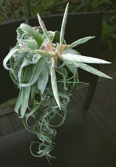 streptophylla_f