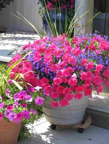 petunia-container