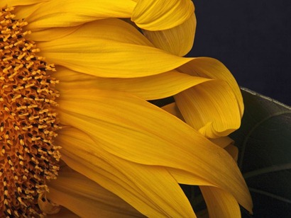sunflower-oregon_18742_990x742