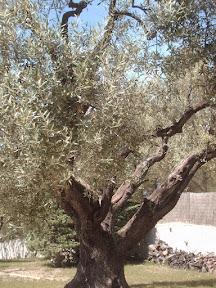 Un olivier dans la campagne Provencale