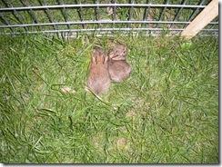bunnies 6-25 030