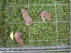bunnies 6-27 039