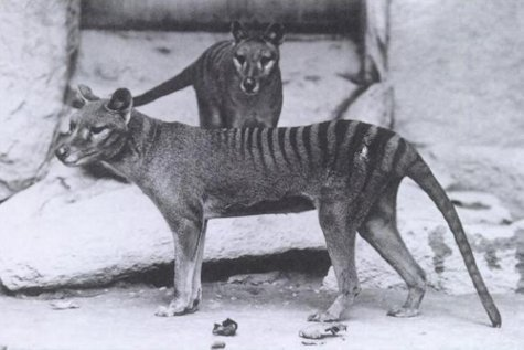 Tasmanian Tigers