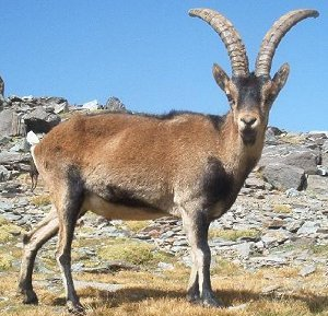 Pyrenean Ibex
