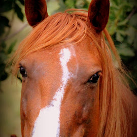 A Real beauty by Sherri Murphy - Animals Horses
