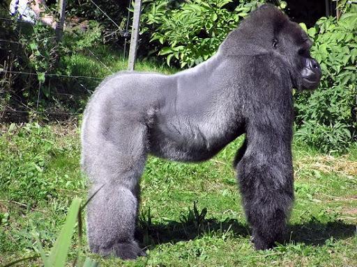Biggest Gorilla Ever Recorded Biggest gorilla ever recorded