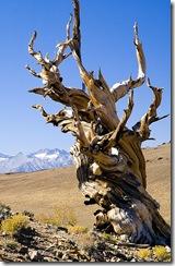 Methusalah Tree 00