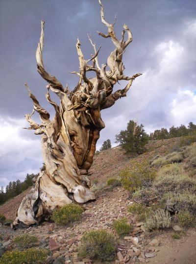 Methusalah Tree 01
