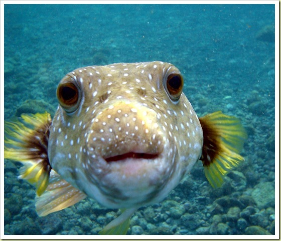 10-most-poisonous-animals-in-the-world-puffer-fish