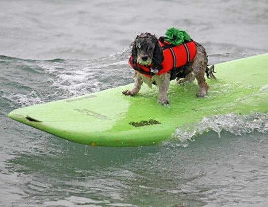 Dogs Surfing at California Beach 11