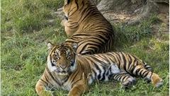 tigers_1