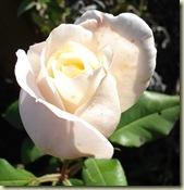 rose 2_1