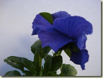 pansy_1_1